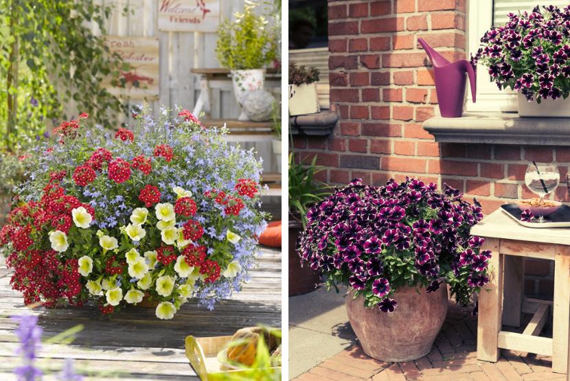 balkonske rože za poletje 2019, kombinacije rož za balkon, pelargonije, verbene, lobelije, potunije, balkonsko cvetje