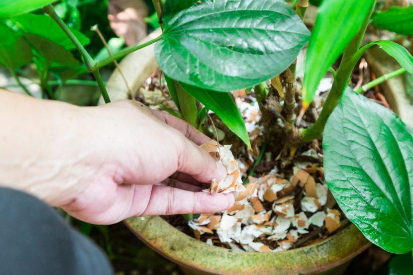 jajčne lupine kot gnojilo, zastirka na zelenjavnem vrtu, odganjajo polže, proti plevelu, lupine jajca