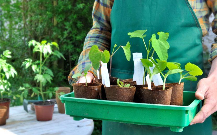 presajanje sadik na prosto, vrt spomladi, kaj sadimo aprila, presajanje paradižnika, presajanje paprike, kaj sadimo