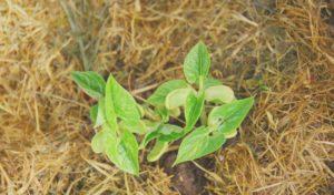 zastirka za vrt, zastirke na vrtu, zaščita vrtne prsti, permakultura, zastiranje vrta, ekološki vrt