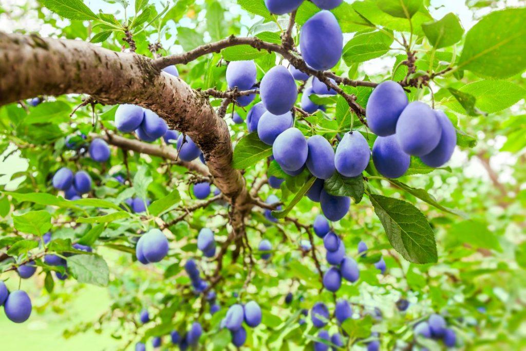 sadno drevje - stare sorte z malo nege veliko obrodijo