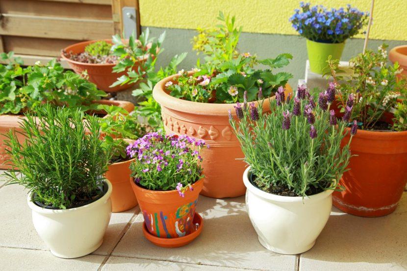 zelišča v loncih balkonski vrt