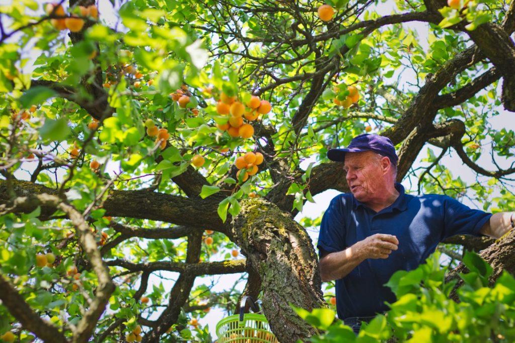 marelica zasaditev sadnega drevja