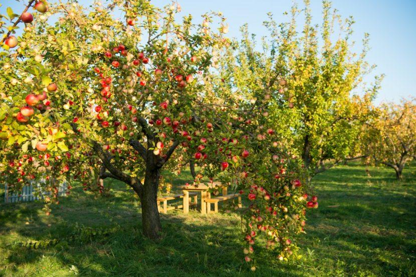 zasaditev sadnega drevja